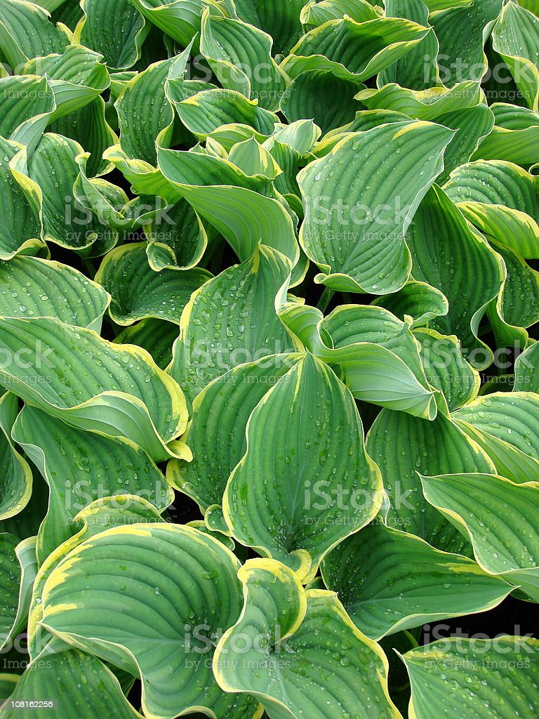 Hosta Sagae Plant Leaves stock photo