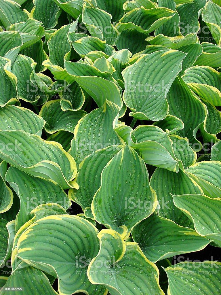 Hosta Sagae Plant Leaves stock photo