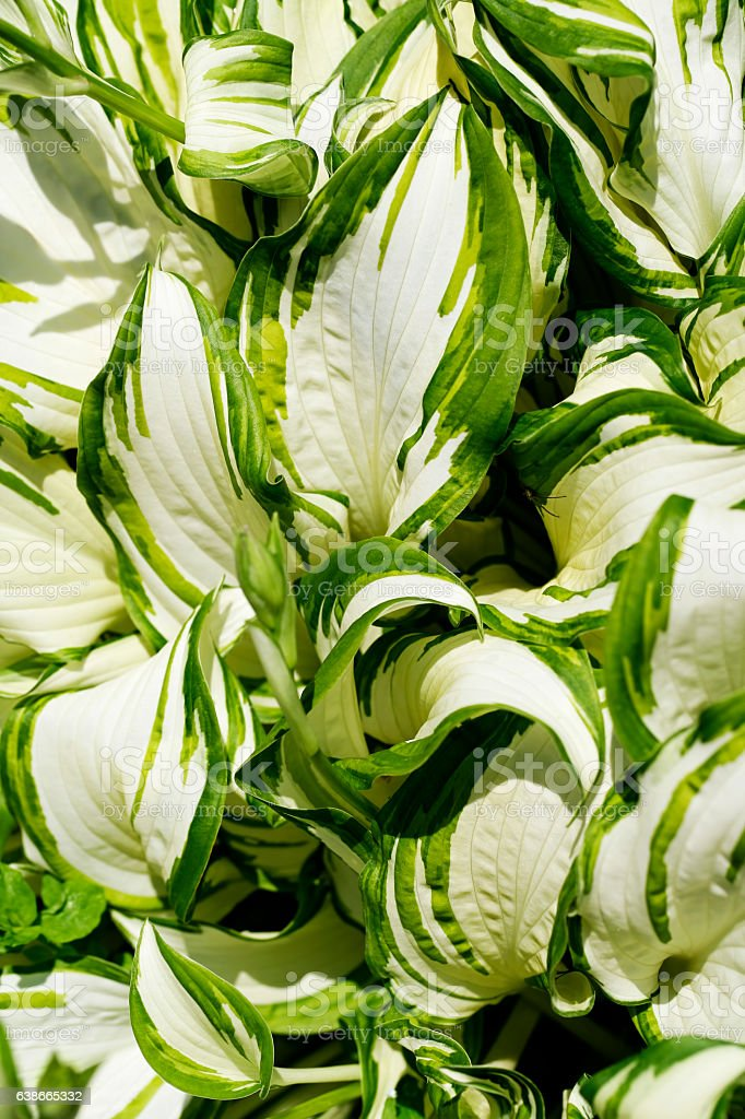 Hostas flowers close-up stock photo