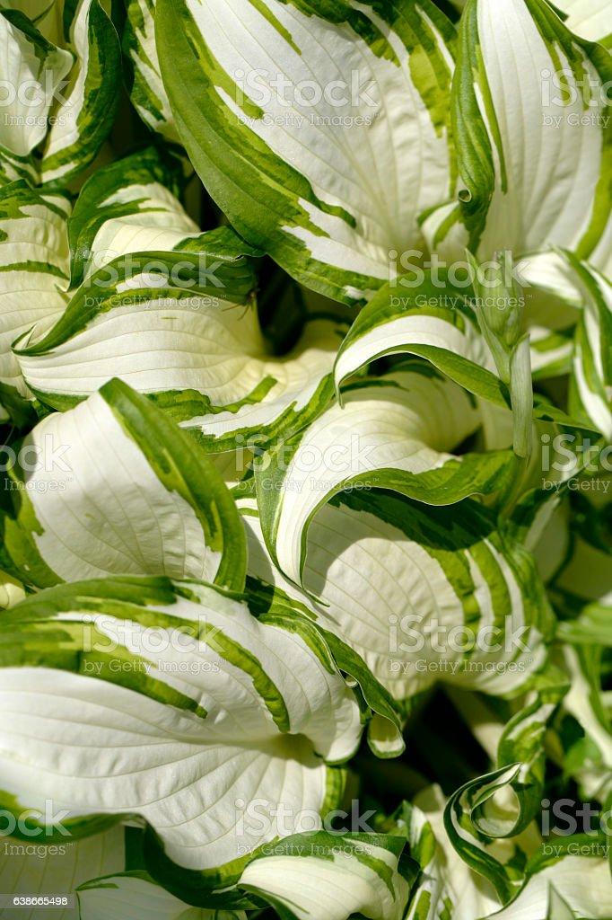 Hostas flowers close-up stock photo
