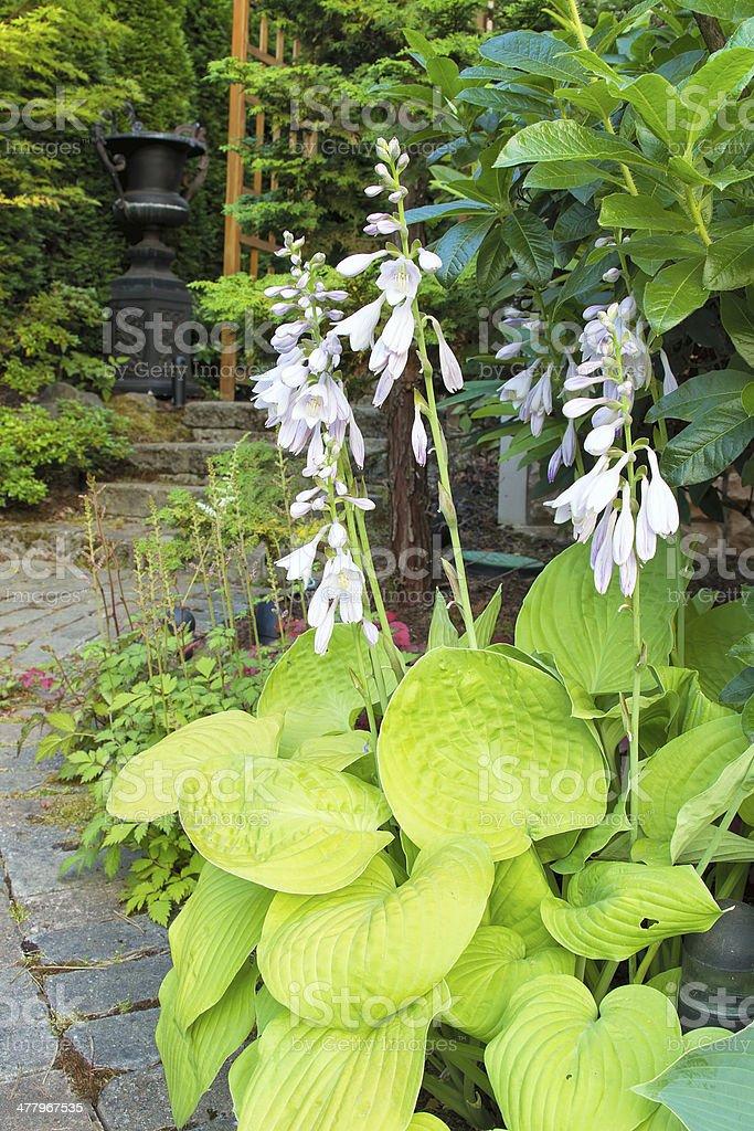 Hostas in Bloom Along Garden Path stock photo