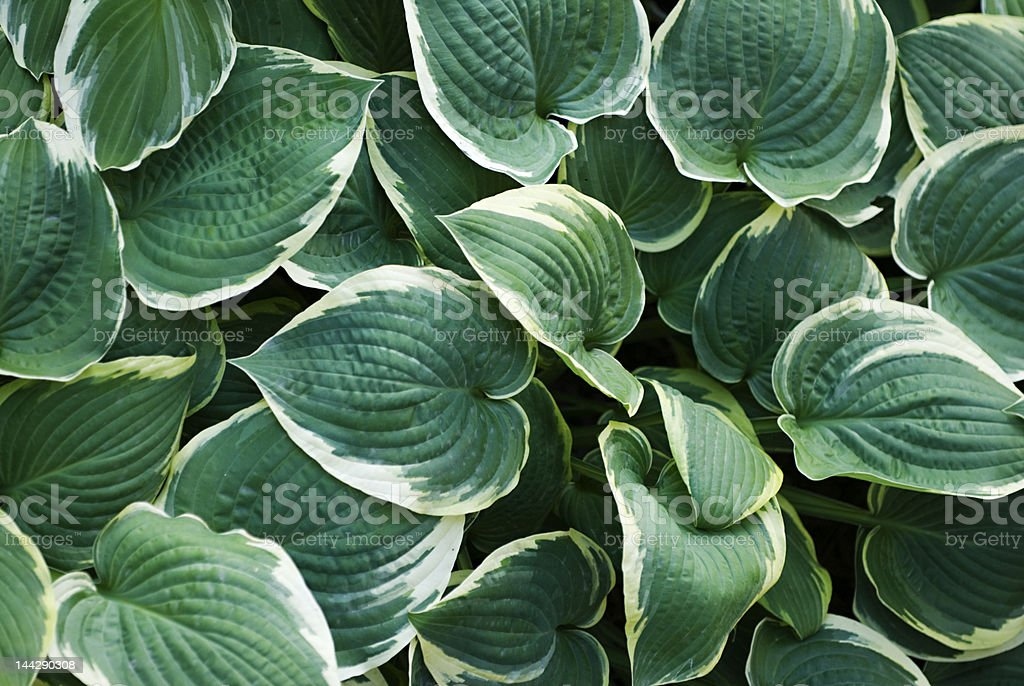 Hostas royalty-free stock photo