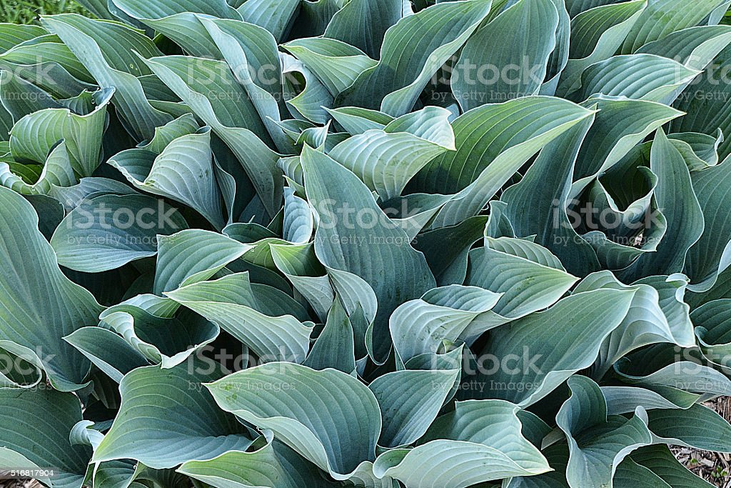 Hostas stock photo