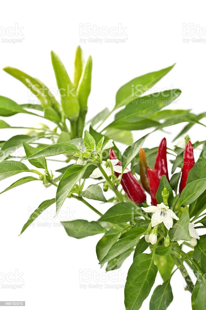Hot Chili Peppers Growing royalty-free stock photo