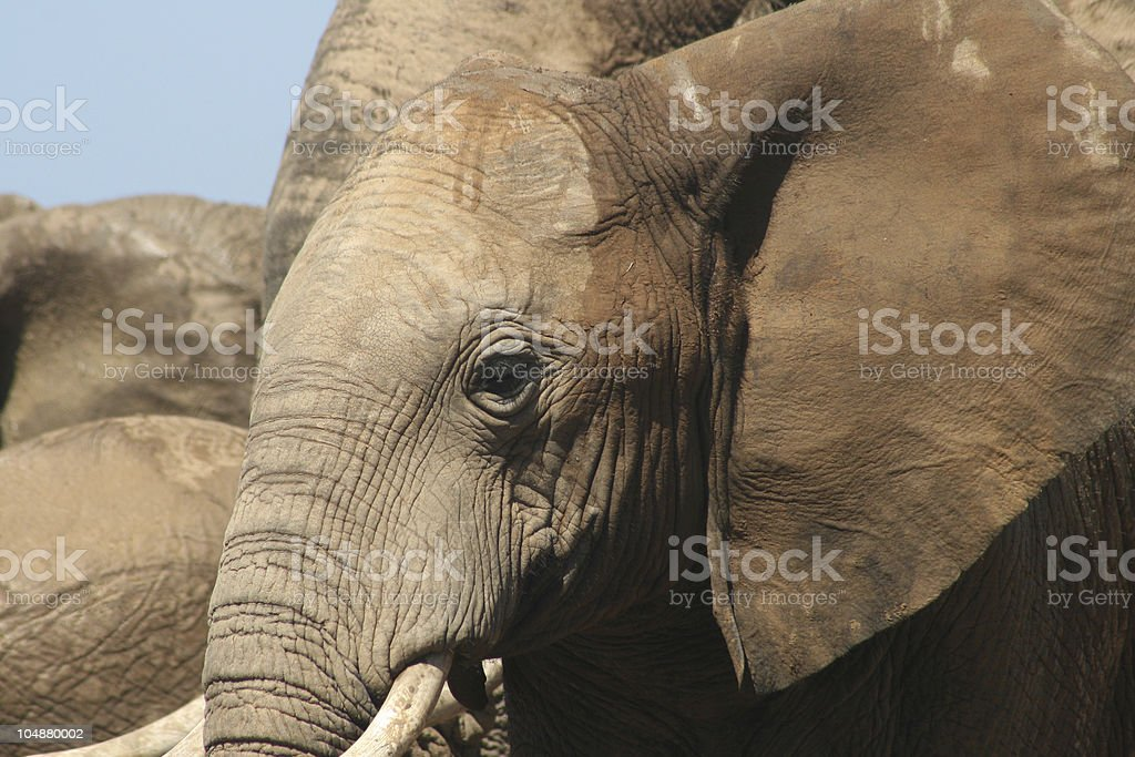Hot Elephant Day royalty-free stock photo