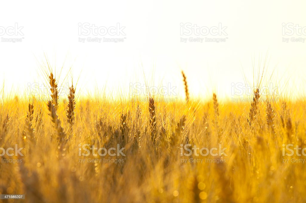hot evening in wheat field royalty-free stock photo