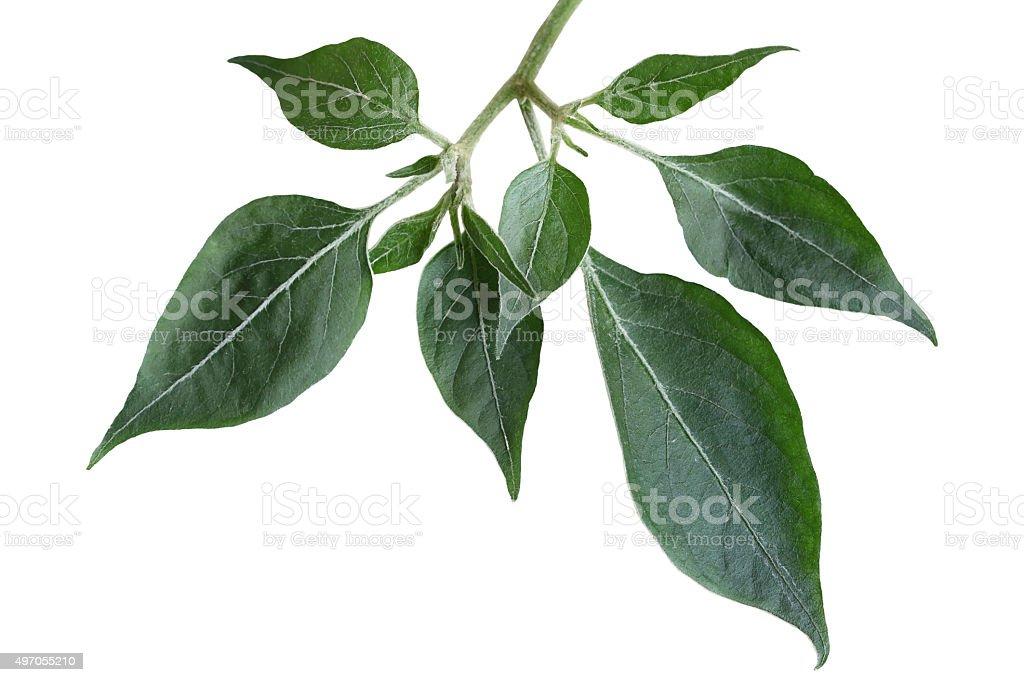 Hot pepper Leaf stock photo