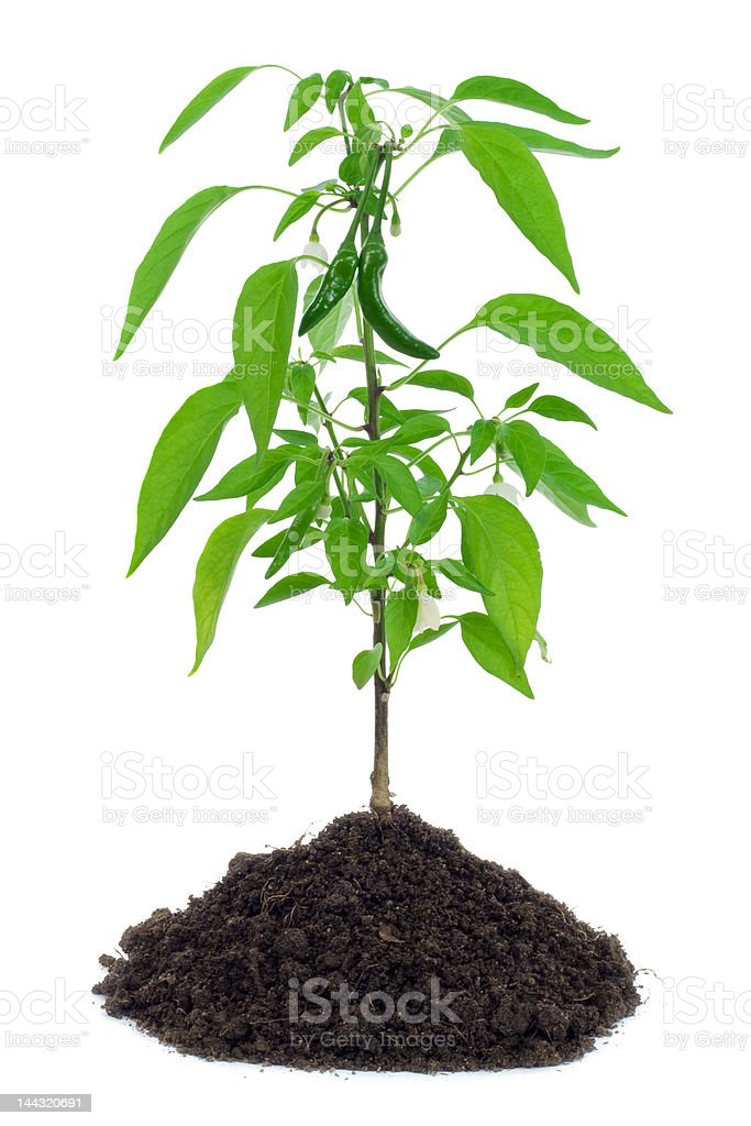 Hot pepper plant royalty-free stock photo