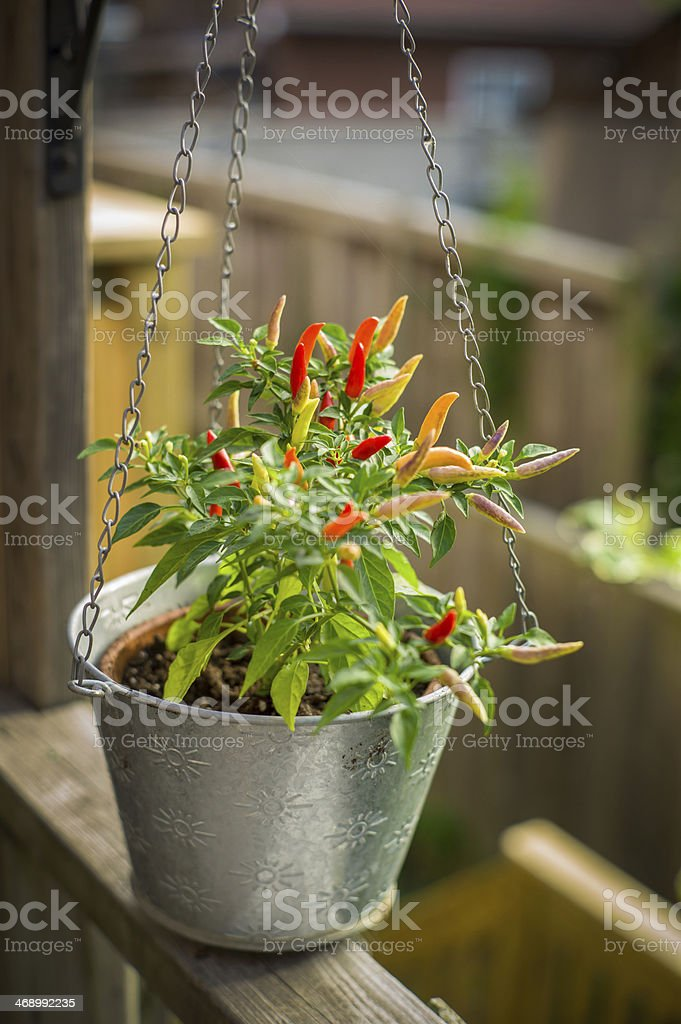 Hot peppers home garden royalty-free stock photo
