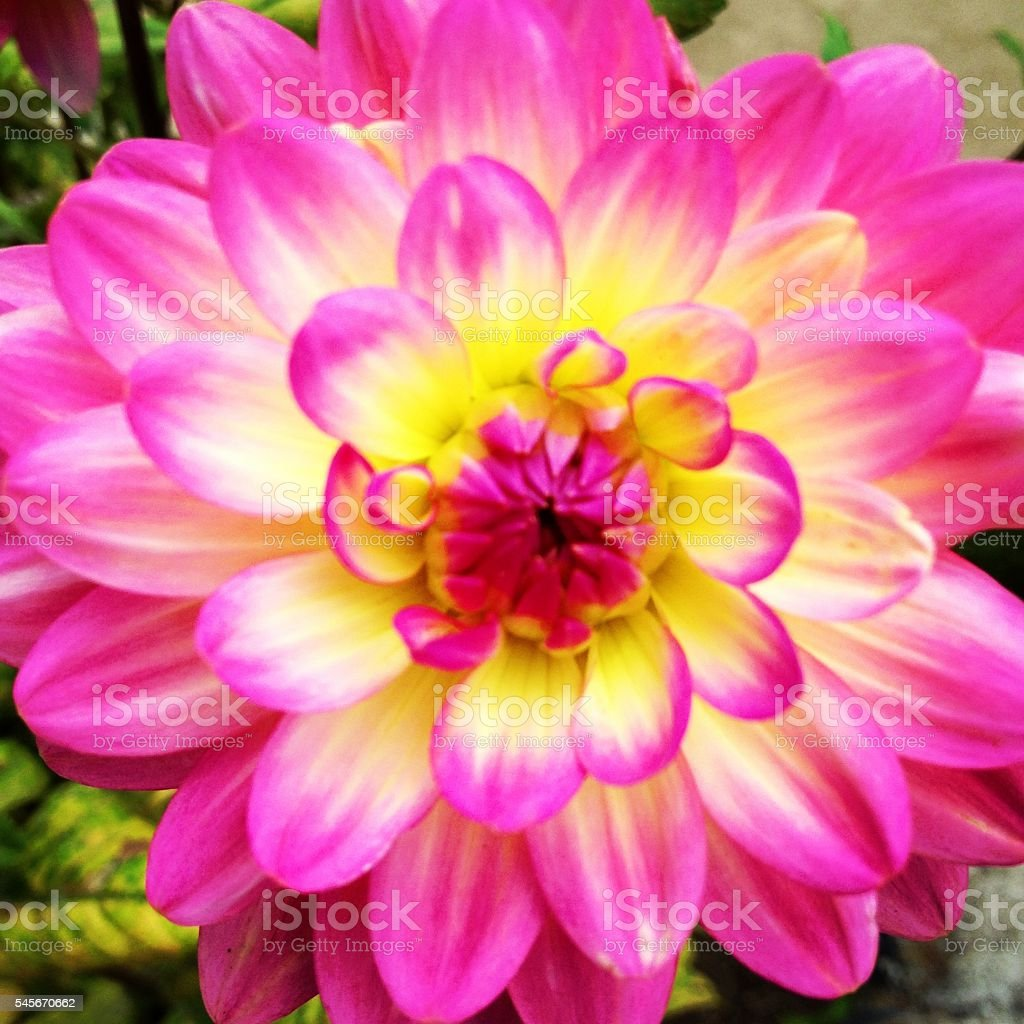 Hot Pink Bloom stock photo