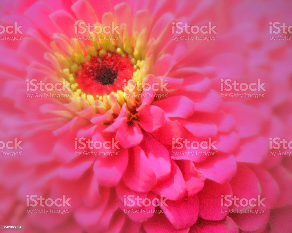 hot pink flower stock photo