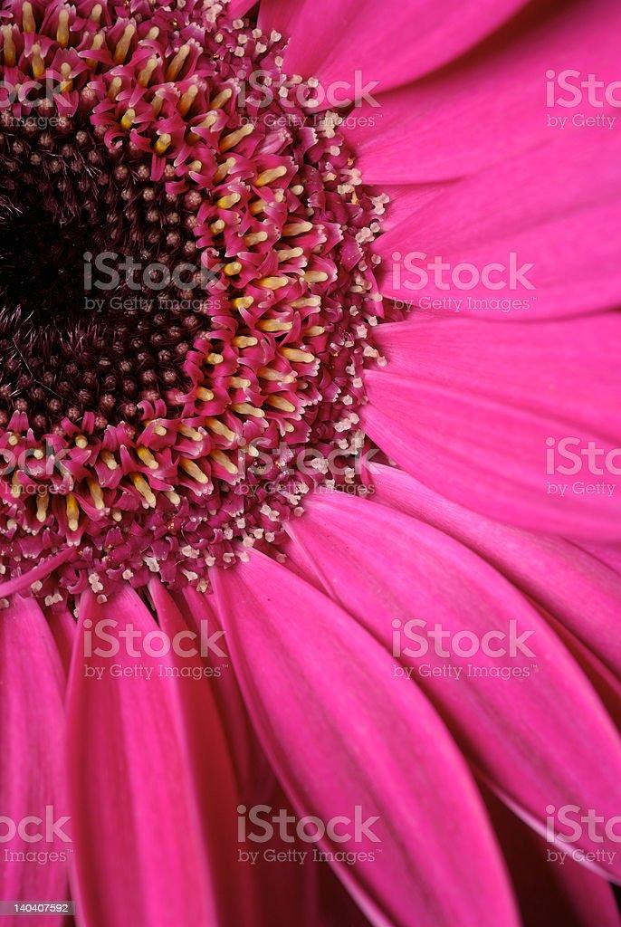 Hot Pink Gerber Daisy Close Up royalty-free stock photo