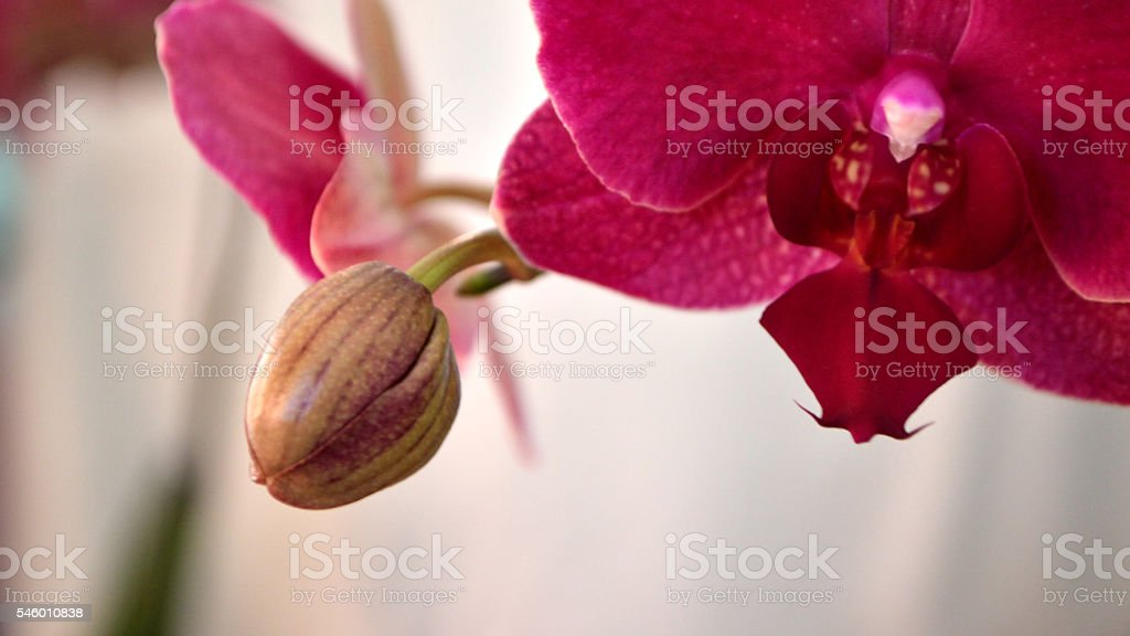Hot Pink Moth Orchid against White stock photo