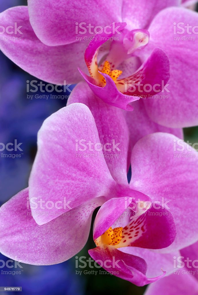Hot Pink Orchids on Blue Silk royalty-free stock photo