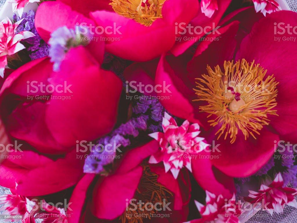 Hot pink peony flowers close up stock photo