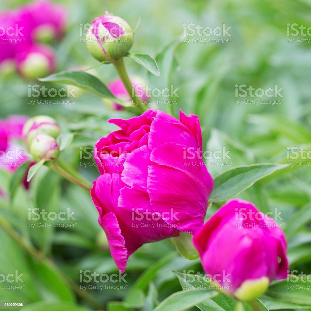 Hot Pink Peony stock photo