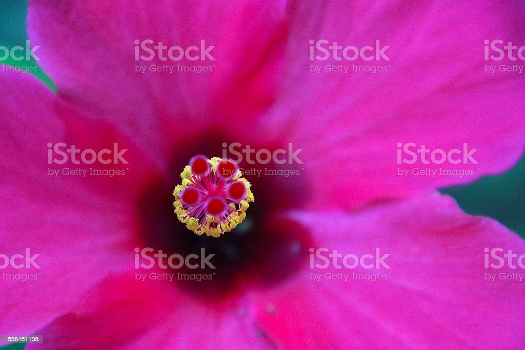 hot pink stock photo