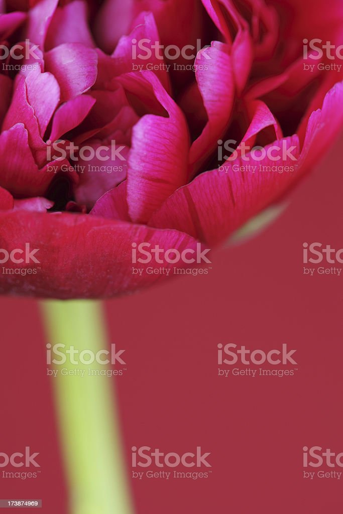 Hot Red Petals royalty-free stock photo
