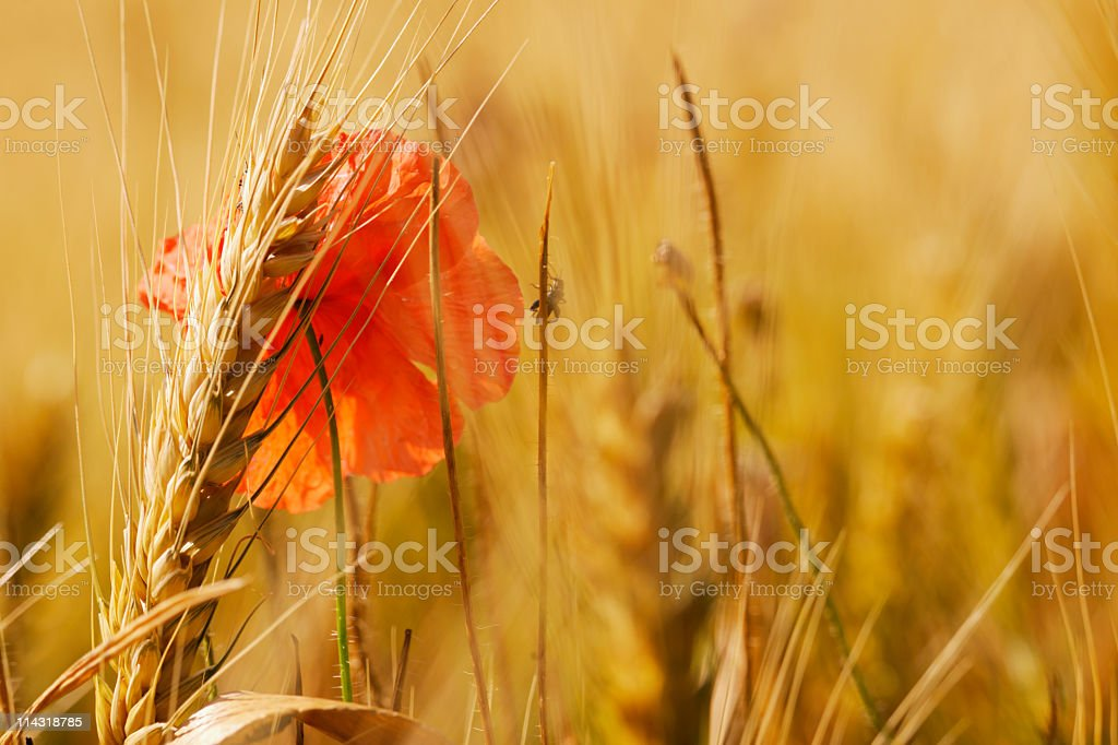 Hot Summer Wheat and Poppy Background Abstract royalty-free stock photo