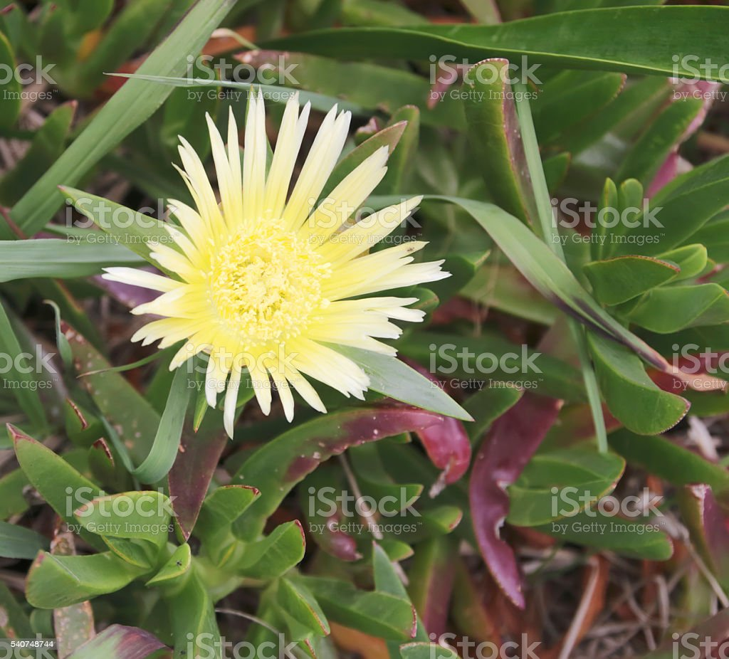 Hottentot Fig (Carpobrotus edulis) Yellow Flower stock photo