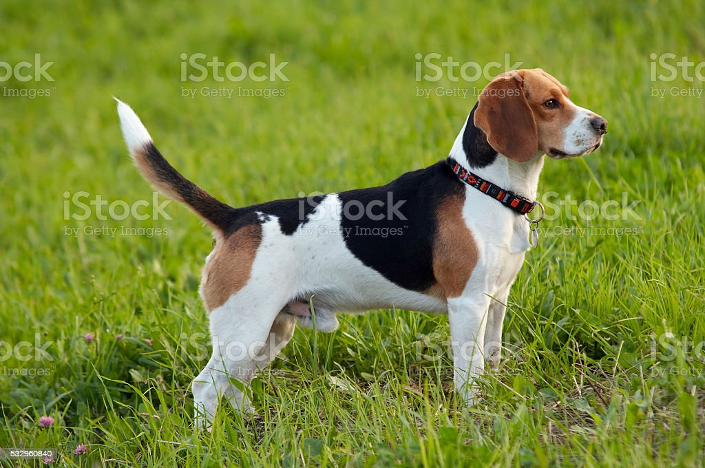 Hound dog beagle on meadow stock photo