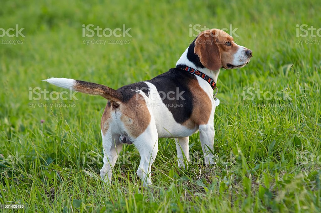 Hound dog English Beagle on meadow stock photo