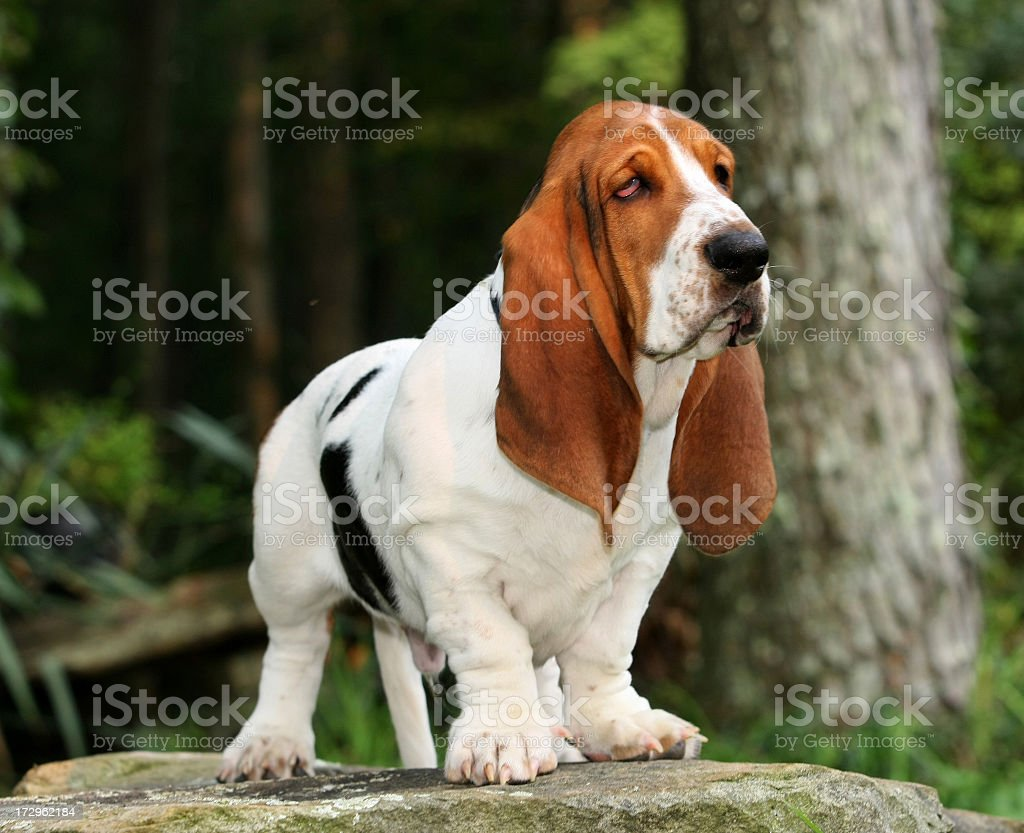 A hound dog standing on a rock in the woods stock photo