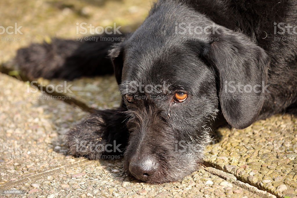 Hound German Wirehaired Pointer stock photo