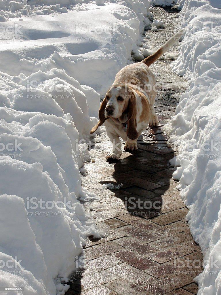 Hound & Snow royalty-free stock photo