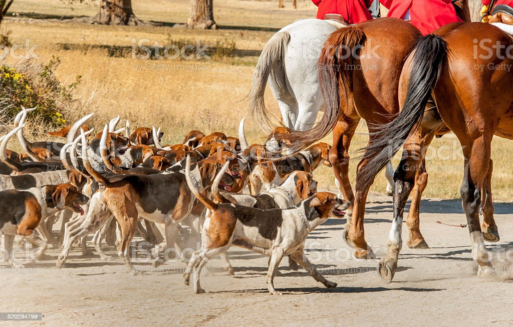 Hounds and Horses stock photo