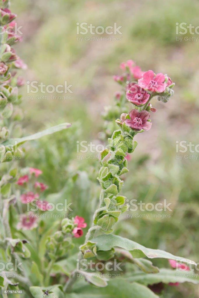 Hound's tongue (Cynoglossum officinale) stock photo