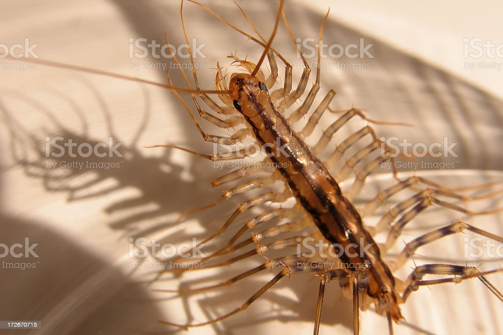 house centipede royalty-free stock photo