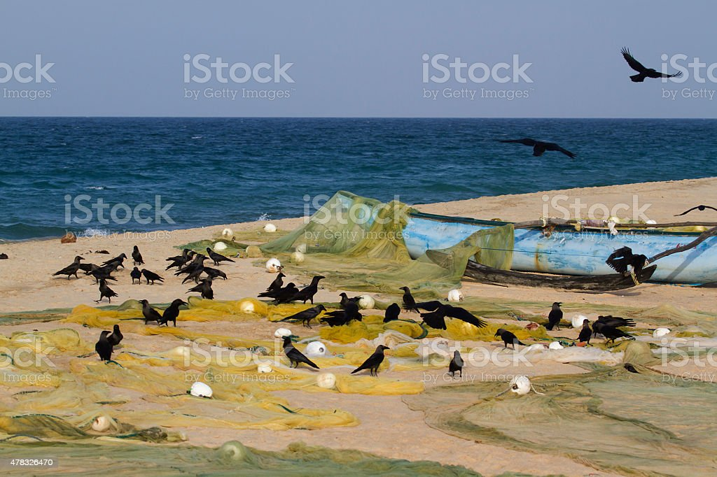 House crow group after fishing in Sri Lanka stock photo
