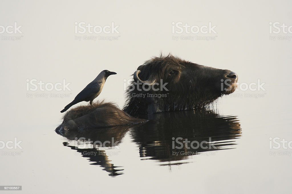 House Crow on water buffalo at sunset, plain background royalty-free stock photo