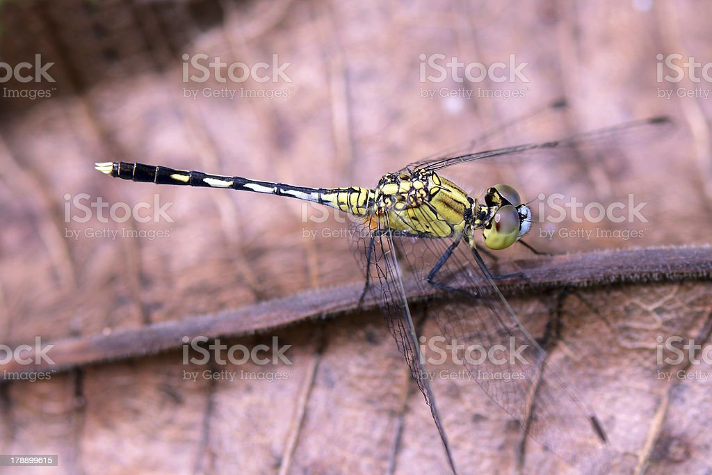 House Dragonfly. royalty-free stock photo