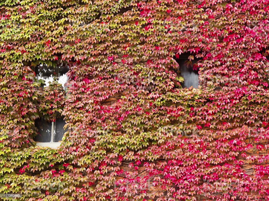 House facade overgrown with vibrant red fall vine royalty-free stock photo