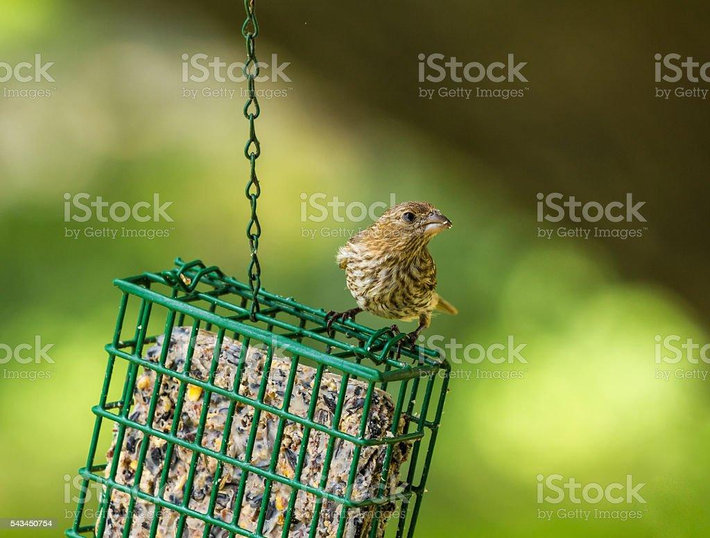 House Finch (Haemorhous mexicanus) Female stock photo