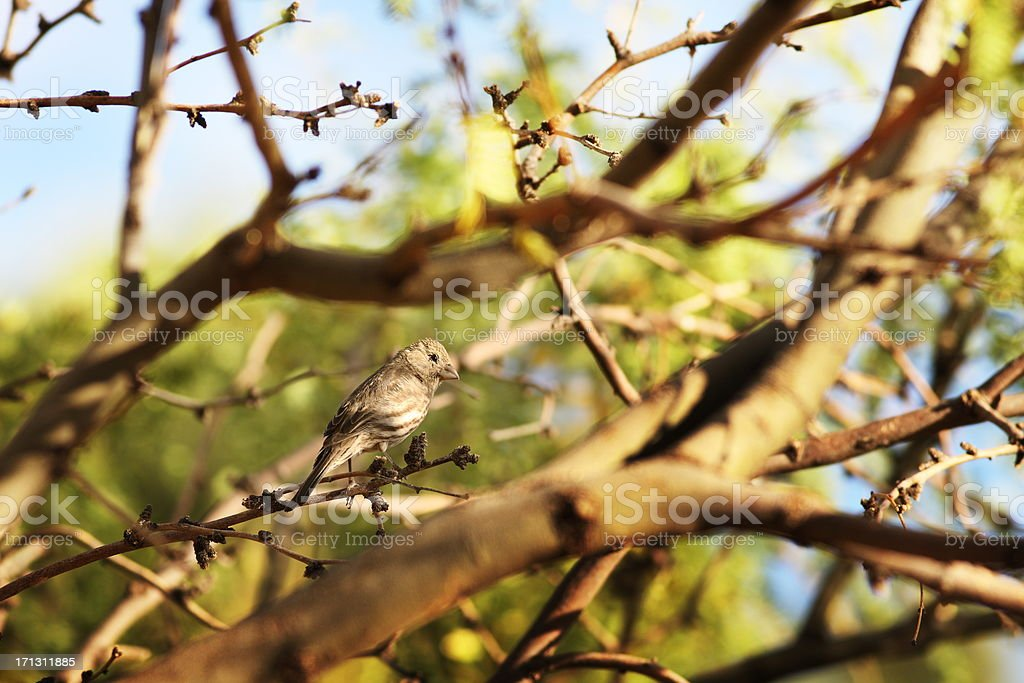 House Finch Haemorhous mexicanus Carpodacus Bird stock photo