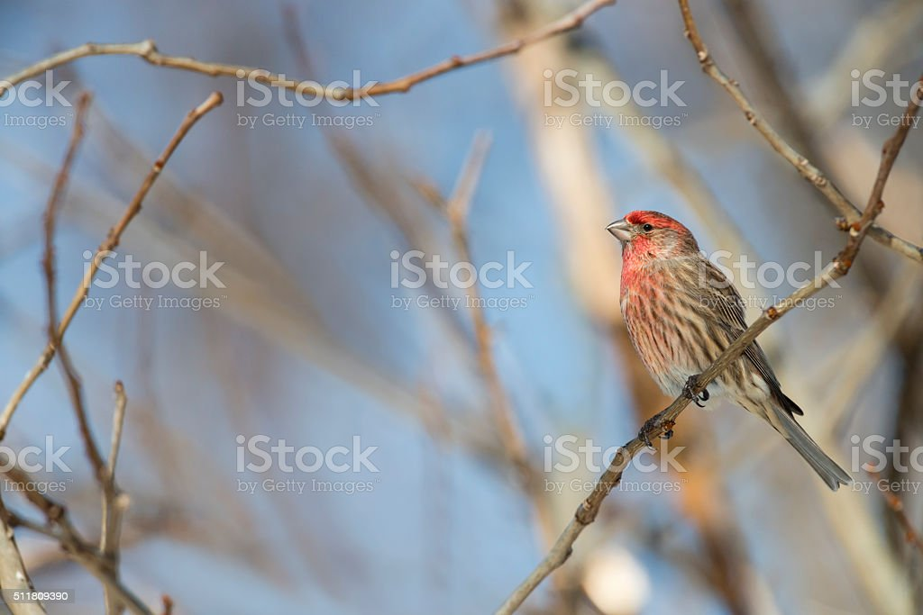 House finch, Haemorhous mexicanus, perching stock photo