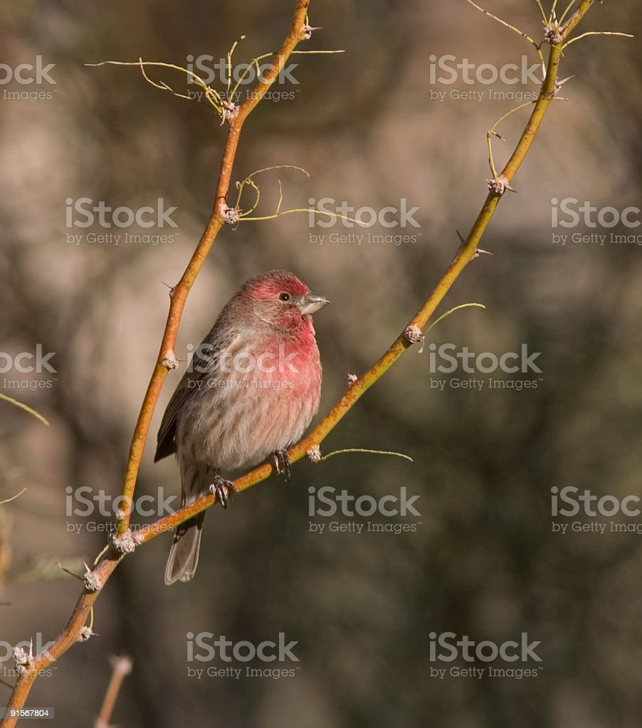 House Finch in fork of branch royalty-free stock photo