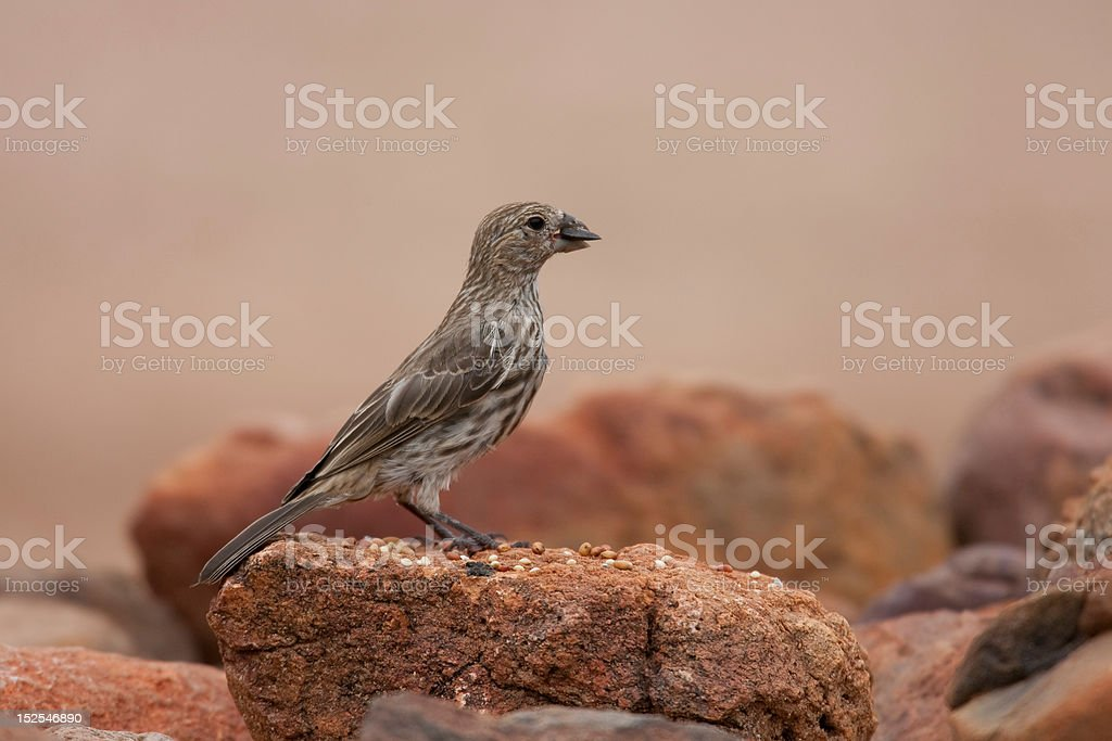 House Finch juvenile royalty-free stock photo