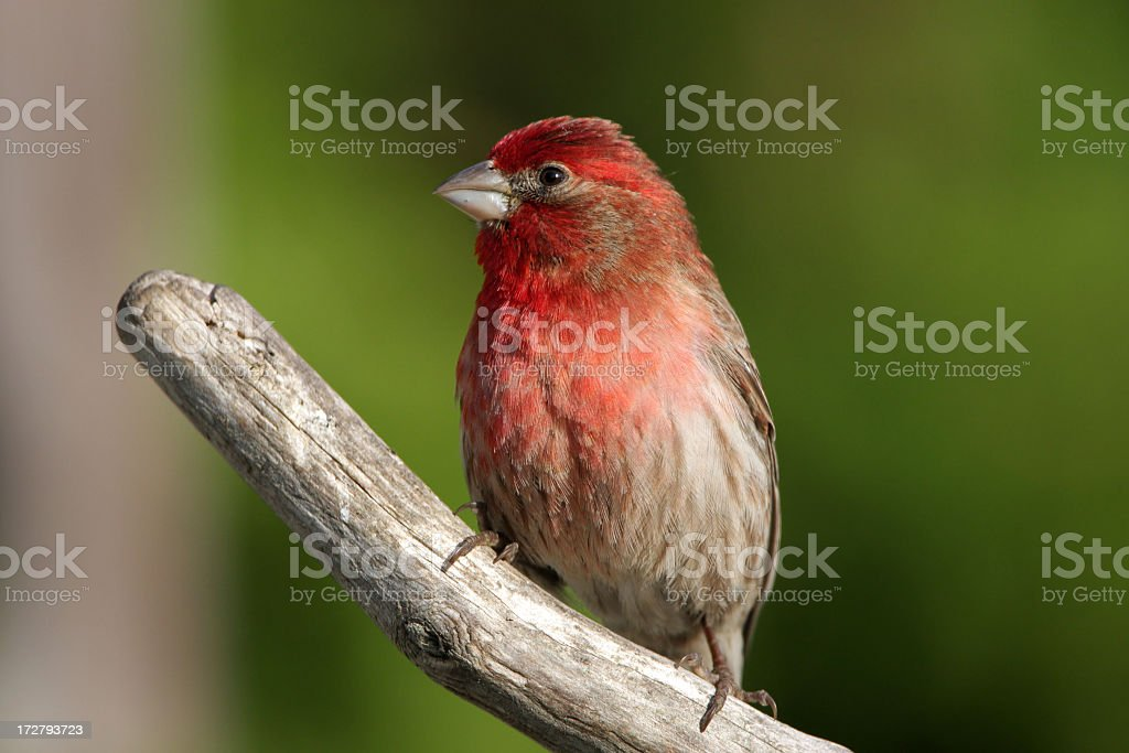 House Finch - Male royalty-free stock photo