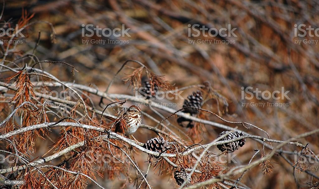 House Finch On A Pine royalty-free stock photo