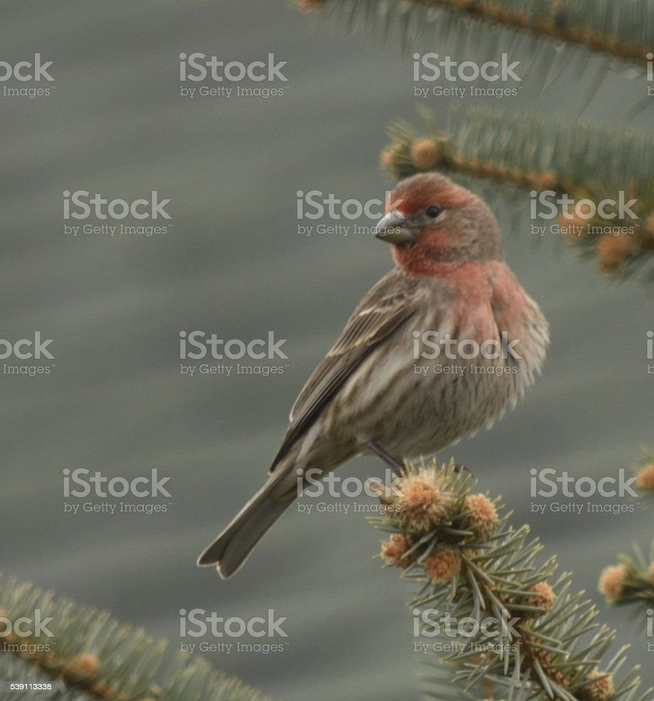 house finch on pin tree stock photo