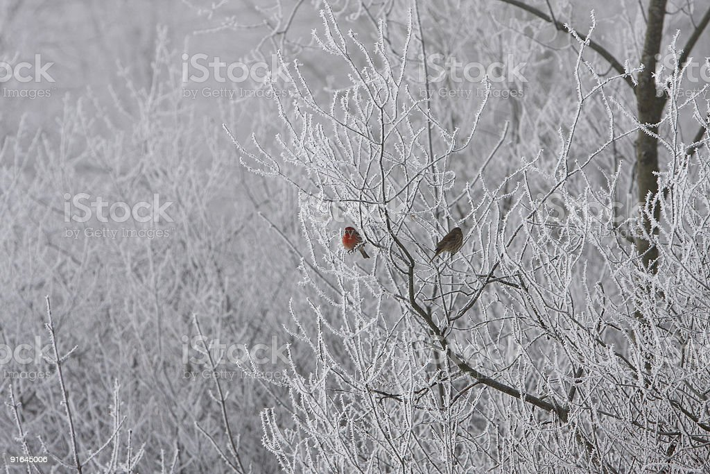 House Finch ( Carpodacus Mexicanus ) stock photo