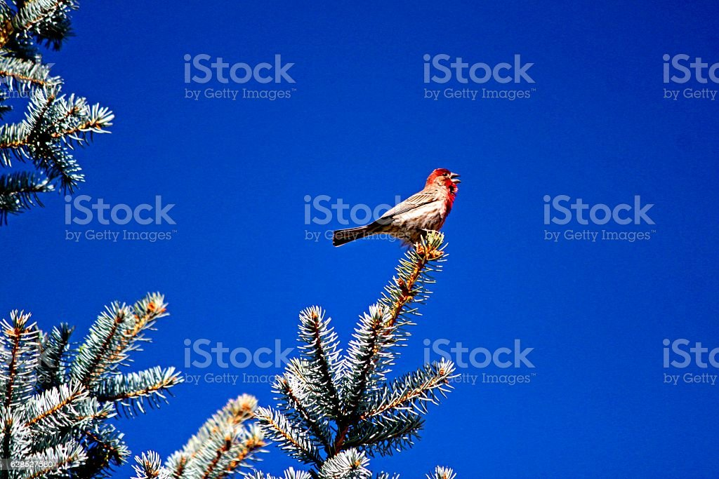 House Finch Singing on Blue Spruce stock photo