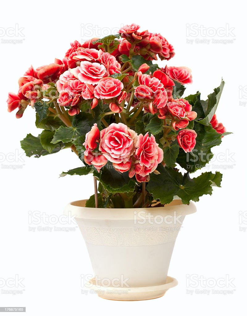 House flower royalty-free stock photo