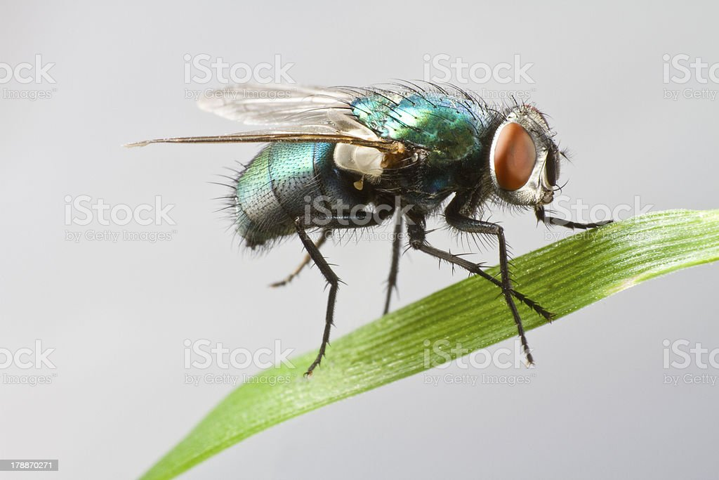 house fly in extreme close up sitting on leaf royalty-free stock photo