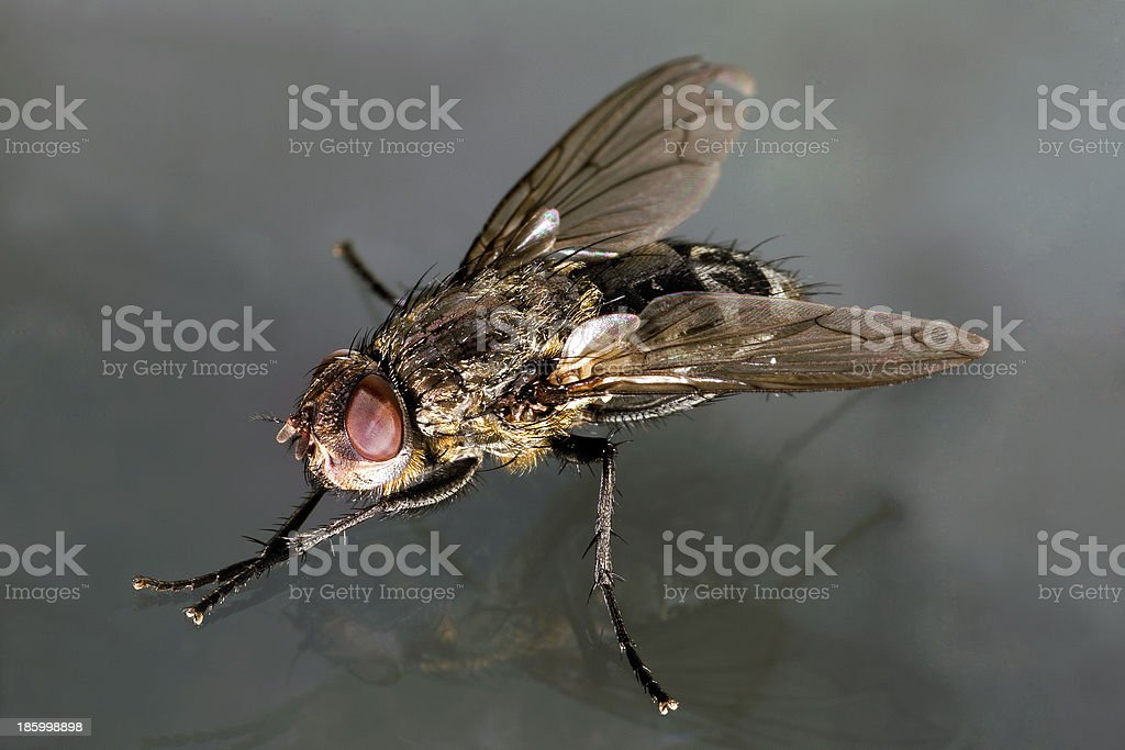House fly macro oblique view royalty-free stock photo