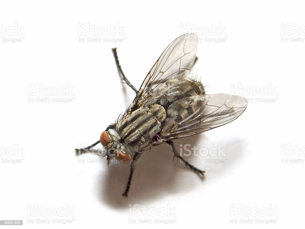 House Fly Macro royalty-free stock photo